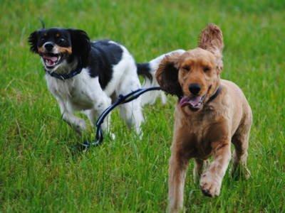 Dog Walks Stevenage