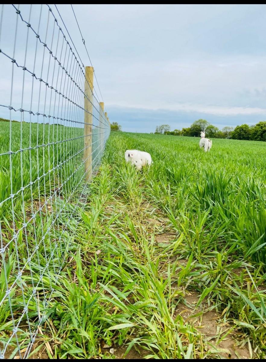 Dog Walking Field